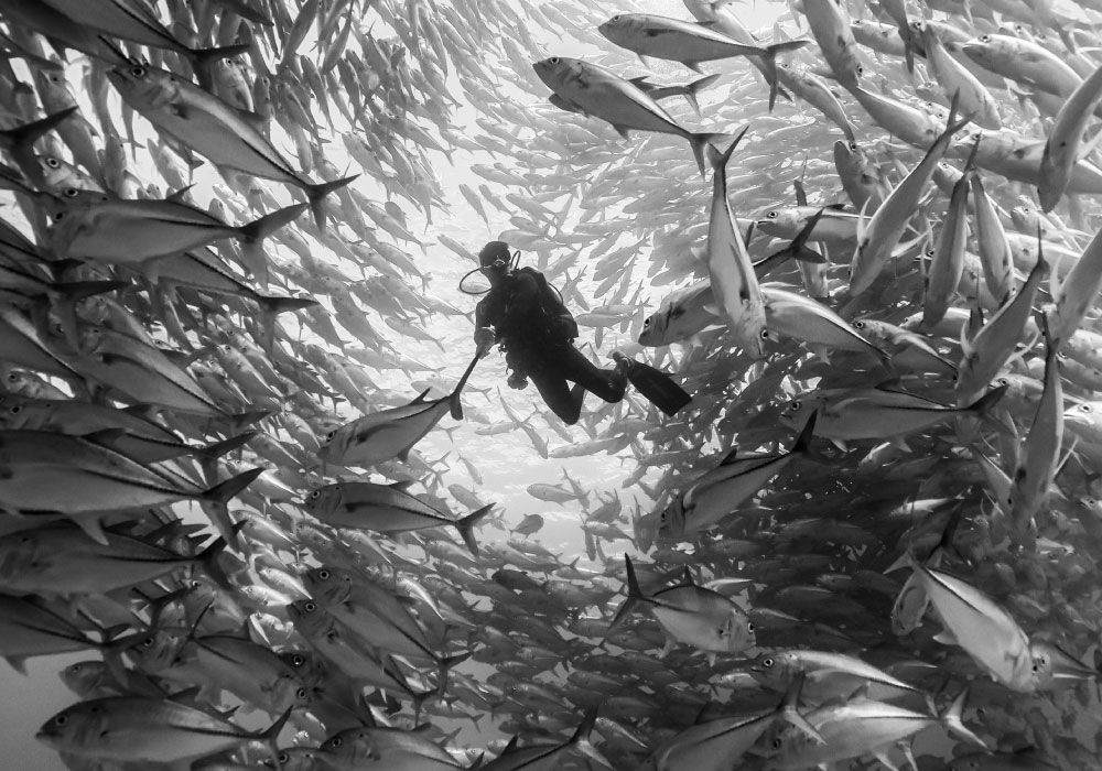 Sea of Cortez - Tornado of Schooling Fishes - © Dany Taylor