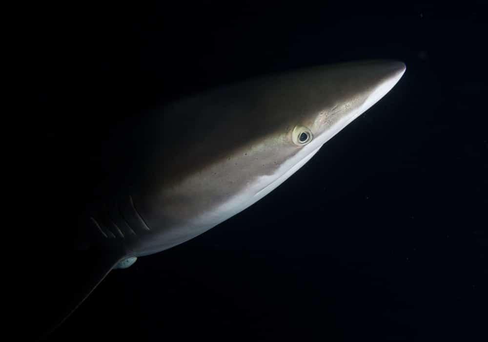 Socorro - Silky Shark