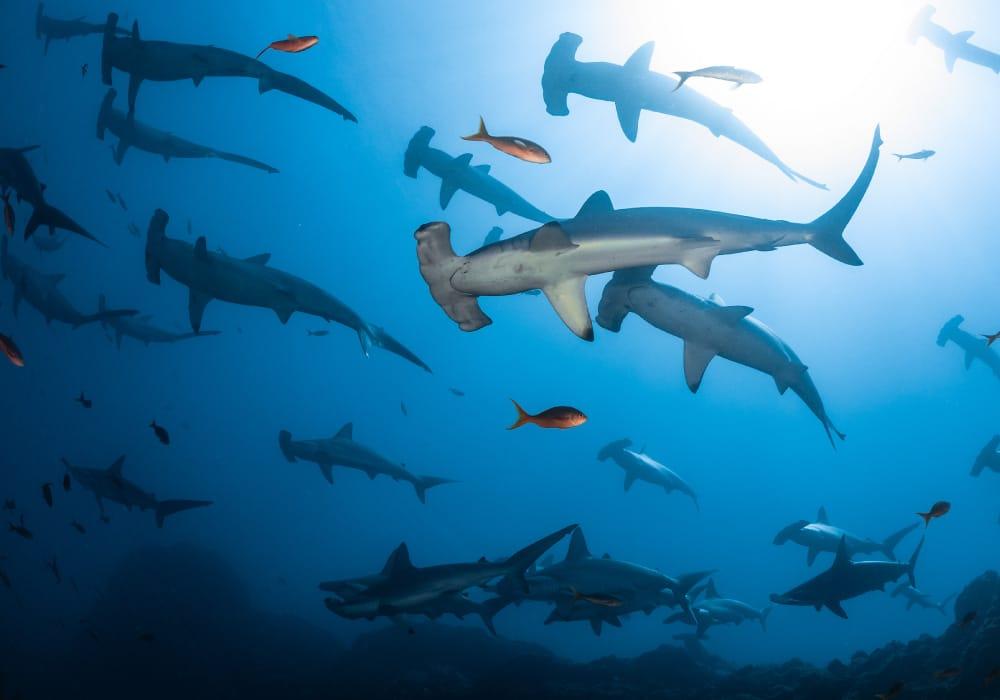 Socorro - Schooling Hammerhead Sharks - © David Serradell