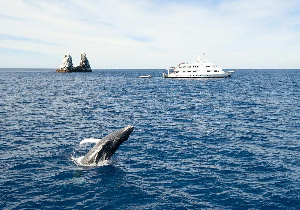 Socorro, Humpback Whale - © Adil Schindler