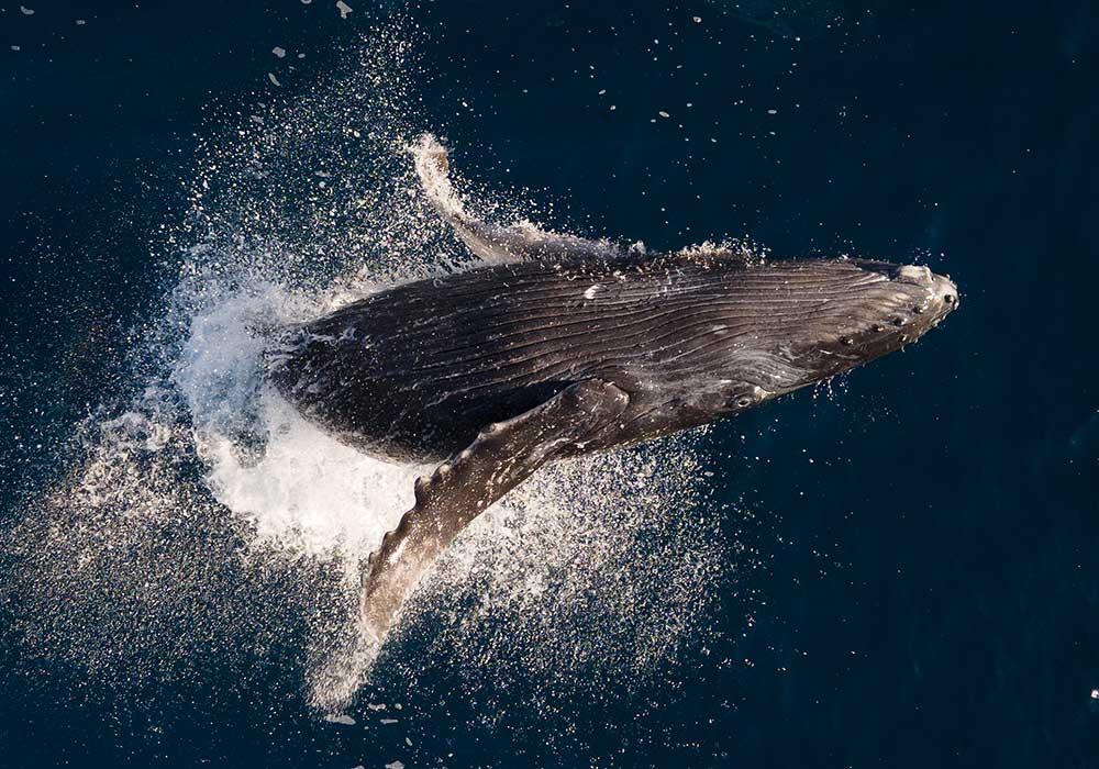 Socorro, Humpback Whale - © David Serradell