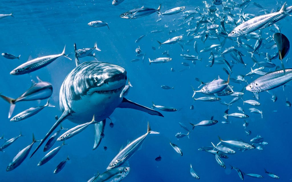 are great white sharks man eaters