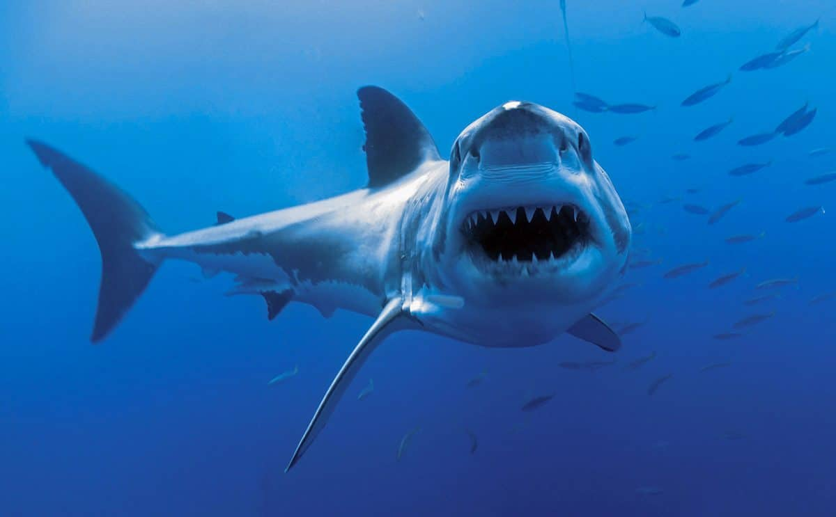 great white Guadalupe