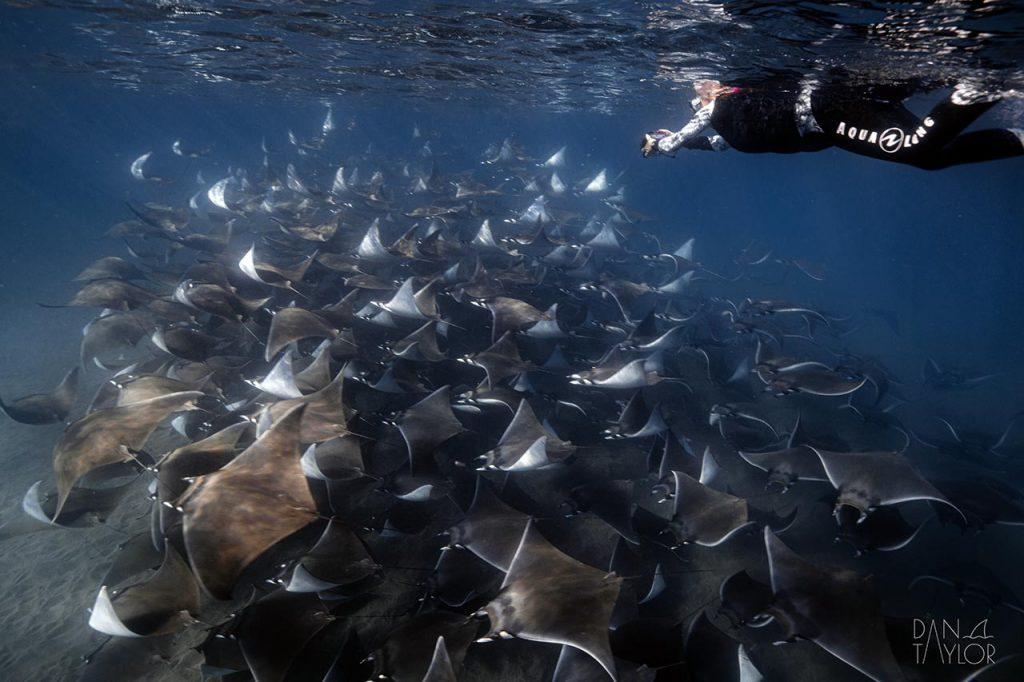 Snorkeling with mobula rays