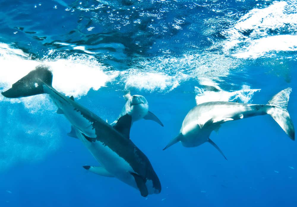 Three great white sharks © Brian Biondi