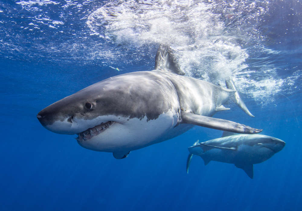 Two great white sharks © Alex Rose