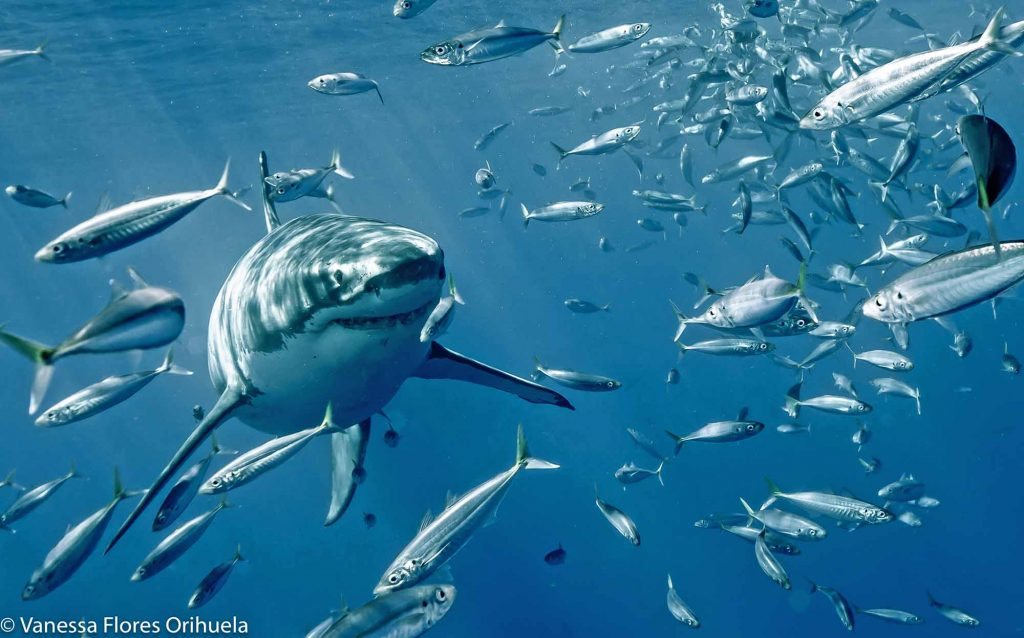 mackerel fish and shark