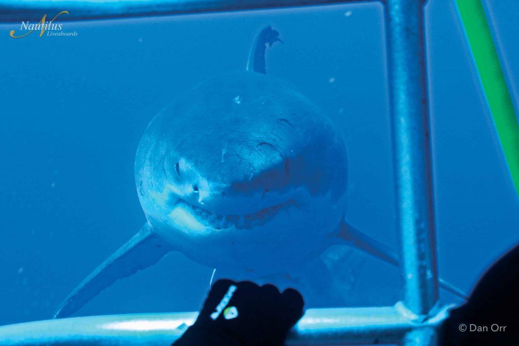 female great white shark